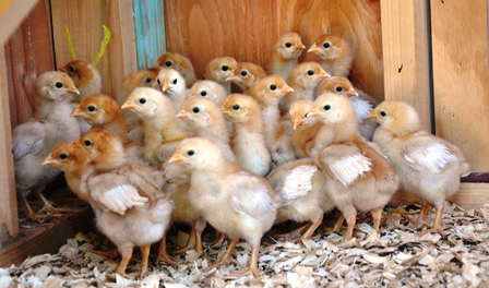 Day Old Chicks (pullets)
